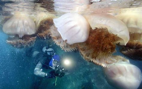 Trampoline Bed Giant Jellyfish A Lot Of Them