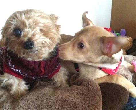yorkie puppy mill the 12 dogs of stan the yorkie one eyed puppy mill survivor