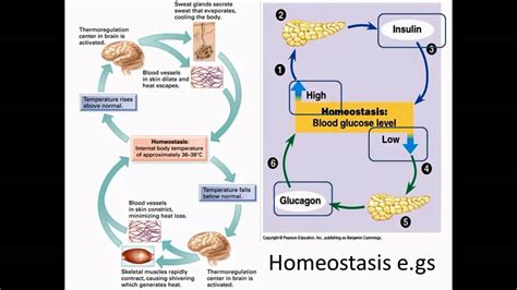 homeostasis exles www pixshark images galleries