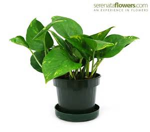 low light house plants best indoor plants for light dark brown hairs