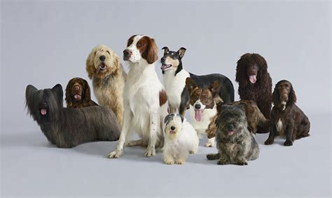 are dogs endangered days britain s endangered breeds and style the guardian