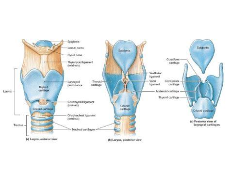 larynx diagram larynx vocal cords diagram larynx free engine image for