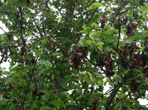 pear tree diseases this ornamental pear tree with brown leaves is showng