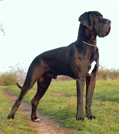 great dane dogs saved by dogs great dane or deutsche dogge gentle giants