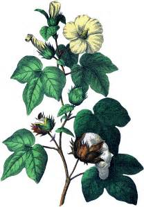 botanical cotton plant image the graphics fairy