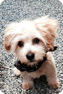 yorkie poodle mix for adoption 86 best images about mutts on poodles yorkie and maltese poodle mix