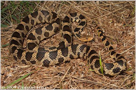 Garden Snake Wisconsin Western Fox Snake Pantherophis Vulpinus Vulpinus