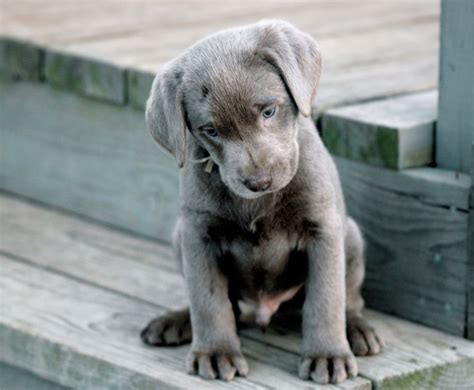 silver lab puppies for sale in ohio silver lab puppies for sale images