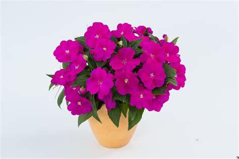 impatiens nuova guinea vaso impatiens nuova guinea fiori in giardino imaptiens
