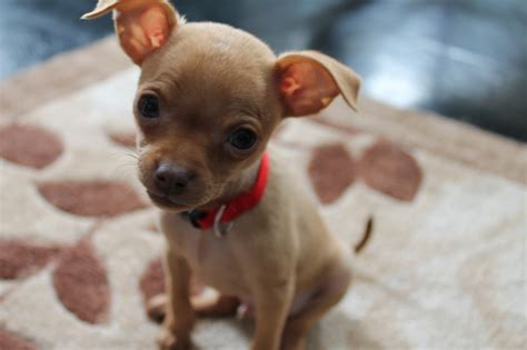 min pin chihuahua mix puppies for sale search results for miniature pinscher chihuahua puppies for sale calendar 2015