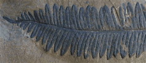 a detailed specimen of alethopteris with termination