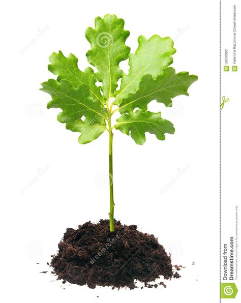 small oak tree stock image image of leaf protection
