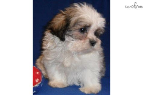 shih tzu breeders ohio shih tzu poo puppies for sale in ohio breeds picture