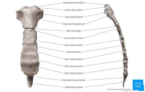 Sternum Ribs Diagram