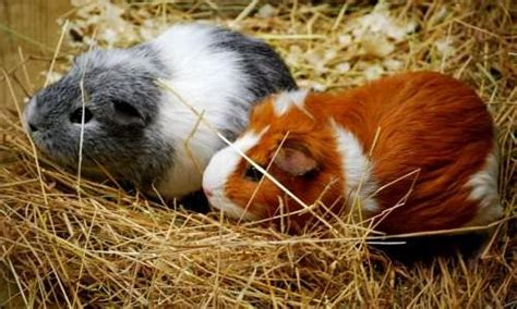 7 Tips On Caring For Pigs by 10 Important Tips For Caring For Guinea Pigs