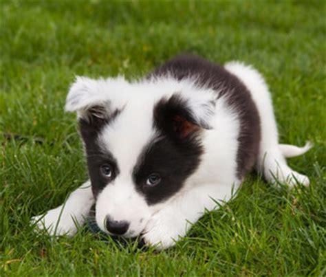 when do puppies start barking when will my puppy start to bark