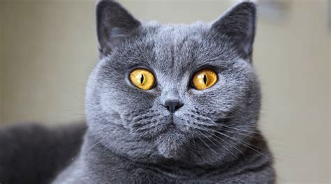 shorthair cat 5 things to about shorthair cats petful