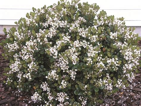 flowering shrubs of india indian hawthorn rhaphiolepis x delacourii