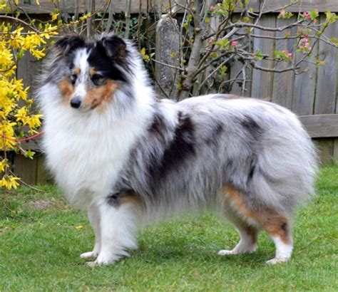 blue merle sheltie puppies for sale dale shelties in ct breeds picture