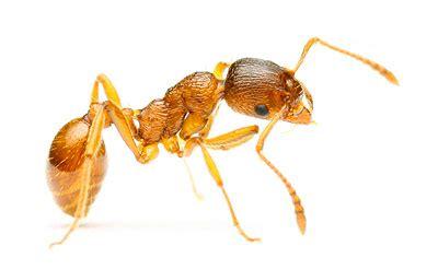 ants pest control brton ant control service gta
