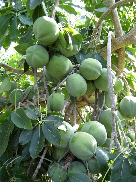 fruit trees melbourne forum suggestions white sapote trees in melbourne