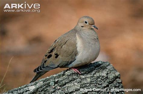 mourning dove videos photos and facts zenaida macroura