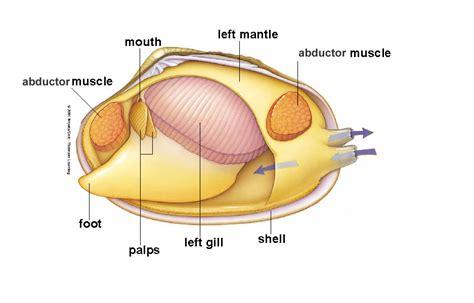 mollusk diagram moluscans