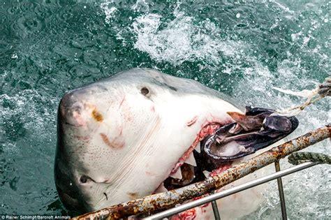 baby shark attack photographer rainer schimp captures terrifying moment