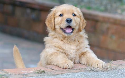 how much does golden retriever cost how much does owning a cost should you get a dogs guide omlet uk