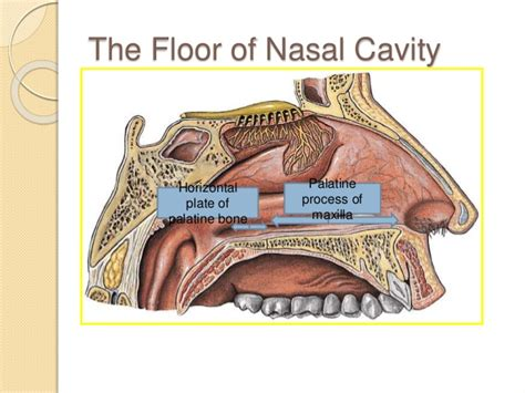 Floor Of The Nasal Cavity nose and paranasal sinuses