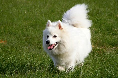 small fluffy breeds small fluffy breeds all about small dogs