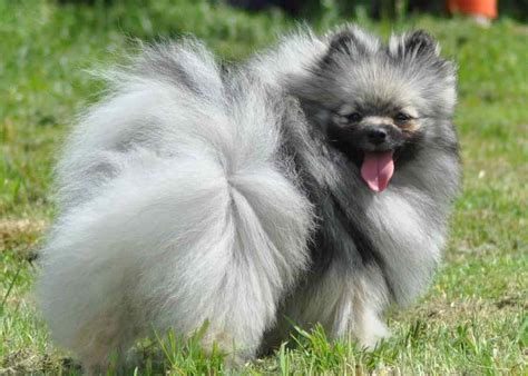 blue parti pomeranian pomeranian probably the cutest breed k9 research lab
