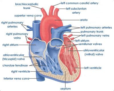 cross sectional view of the heart human heart structure tutorvista com
