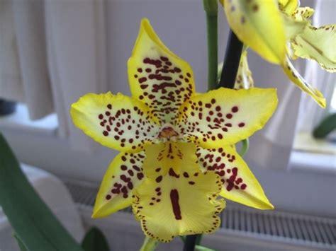 orchidea non fiorisce cambria che non fiorisce domande e risposte piante