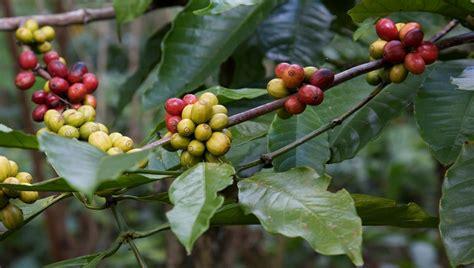 kopi luwak wikipedia kopi luwak the world s most expensive coffee