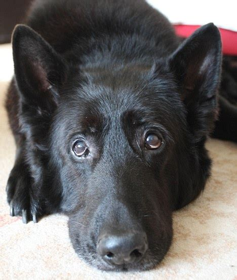 berry the black german shepherd german shepherd berry canine of harry potter is homeless daily mail