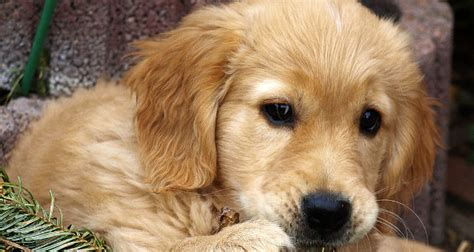 golden retriever facts and info golden retriever breed information facts and figures