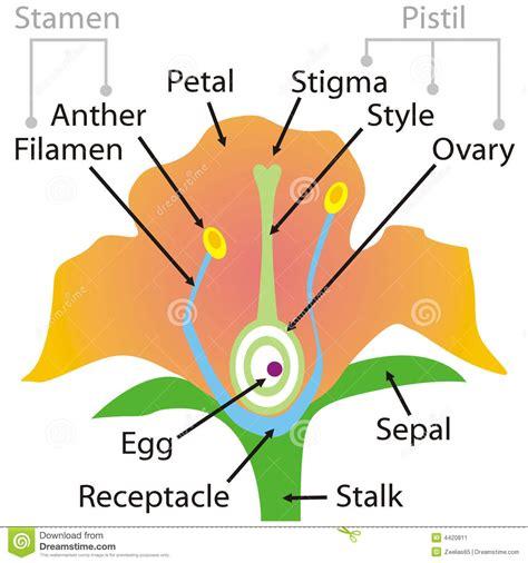 anatomia fiore parti fiore illustrazione vettoriale illustrazione di