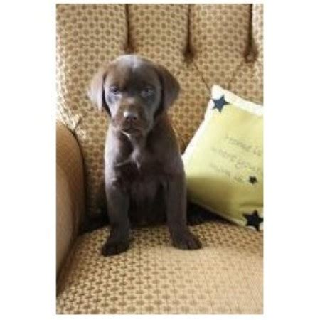 cheap chocolate lab puppies for sale in labrador retriever puppies central new york rachael edwards