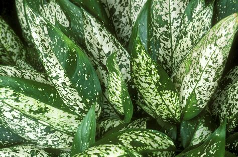 Small House Dogs aglaonema houseplants growing and care guide