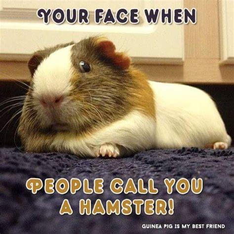 Guinea Pig Meme - 42 best guinea pig meme board images on pinterest