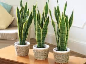 Low Light Plants Indoor by Gallery For Gt Indoor Flowering Plants Low Light