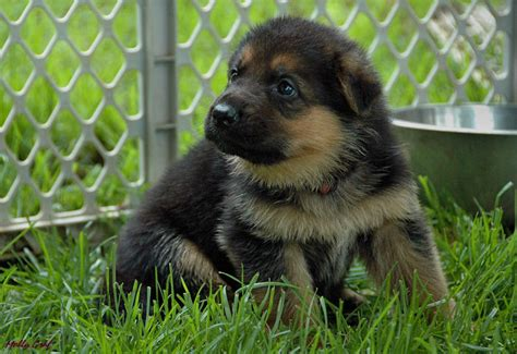 black german shepherd puppies for sale in ohio german shepherd puppies ohio breeds picture