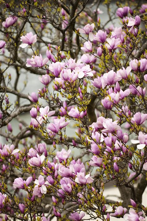 grow potted magnolia trees