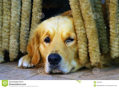 sad golden retriever puppy sad stock photography image 4485782