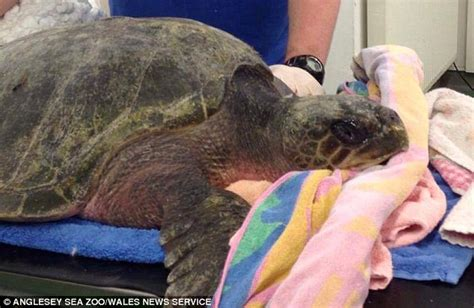 turtle found in wales is lucky to be alive after being