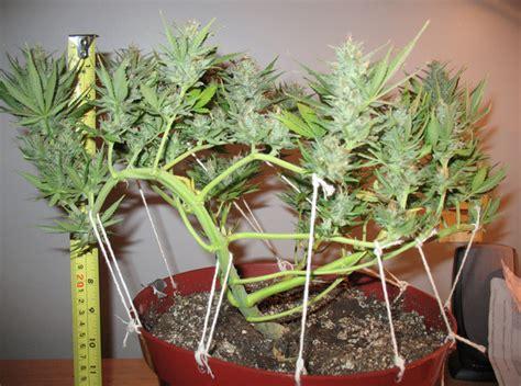 canapé grande taille techniques de taille pour cannabis philosopher seeds