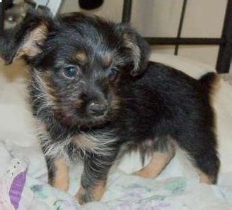 yorkie pekingese puppies yorkinese yorkie x pekingese mix info temperament puppies pictures