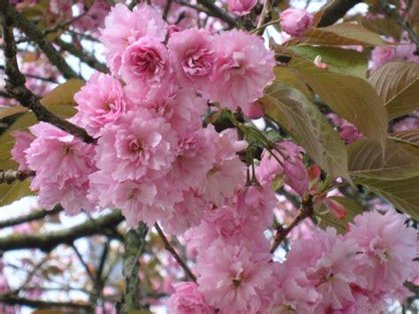 kwanzan cherry tree scenery greenery pinterest