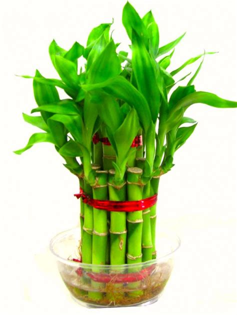 Best Indoor Plants For Oxygen by 2 Layer Lucky Bamboo Plant With Glass Bowl Healthy Plant